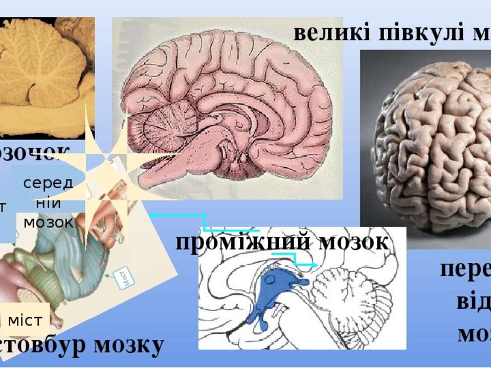 мозочок довгастий мозок міст середній мозок стовбур мозку передній відділ моз...