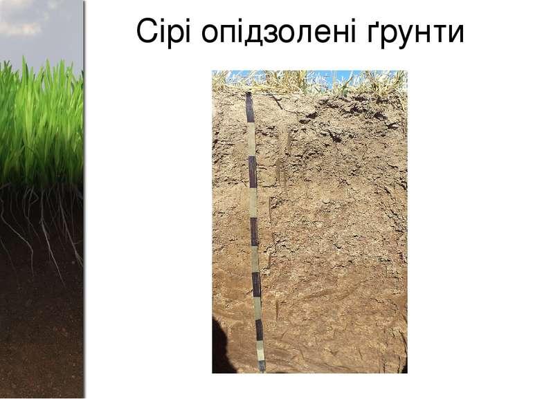 Сірі опідзолені ґрунти