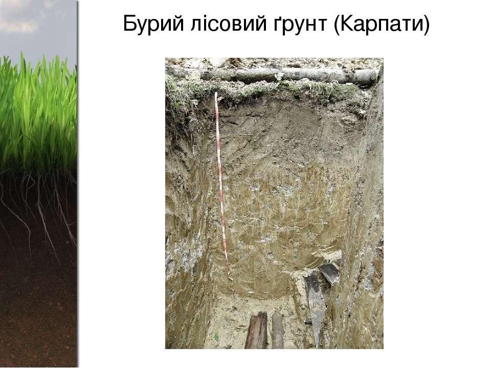 Бурий лісовий ґрунт (Карпати)