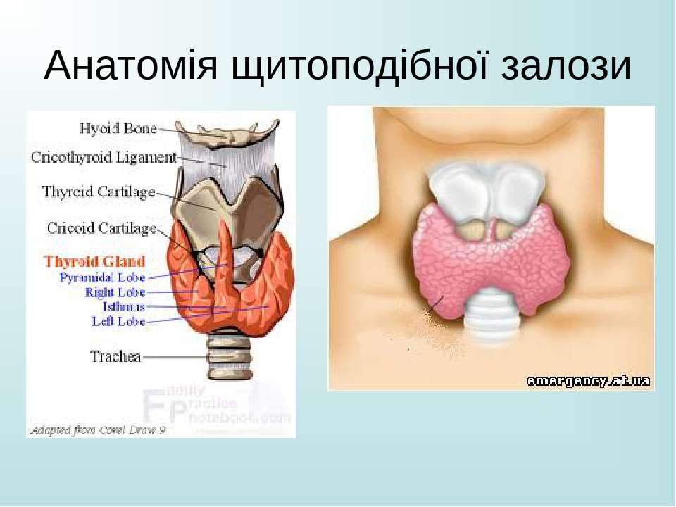 Анатомія щитоподібної залози