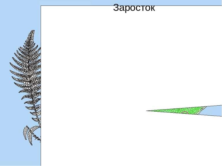 соруси Дозрілі спори висипаються і проростають у гаметофіт — невеликий пласти...
