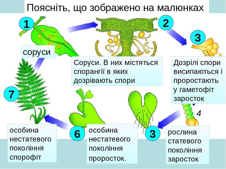 особина нестатевого покоління спорофіт Поясніть, що зображено на малюнках сор...