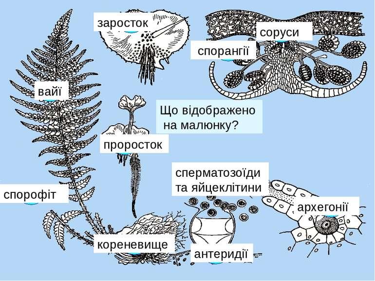 Що відображено на малюнку? 1 спорофіт 2 3 4 5 кореневище вайї соруси спорангі...