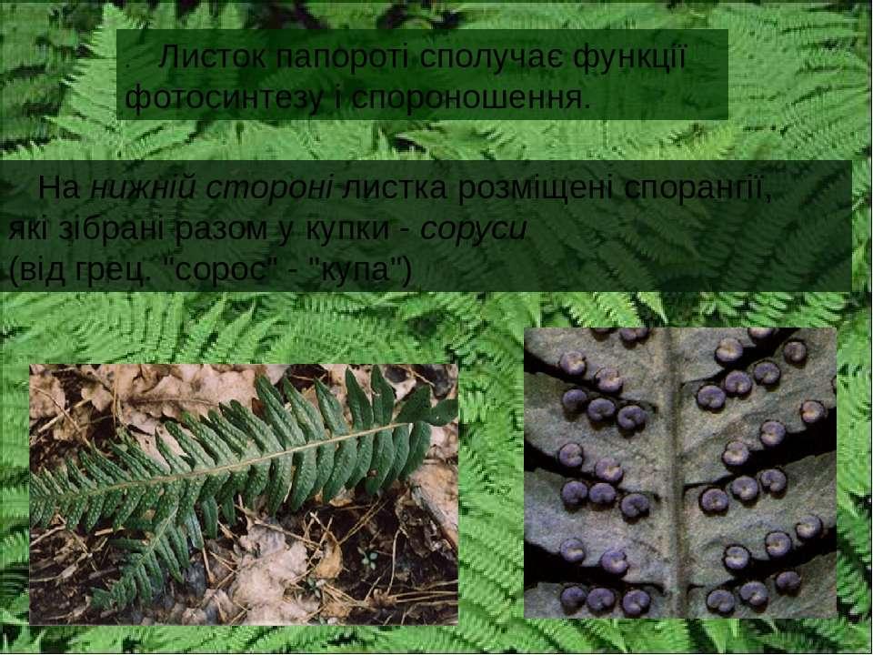 . Листок папороті сполучає функції фотосинтезу і спороношення. На нижній стор...