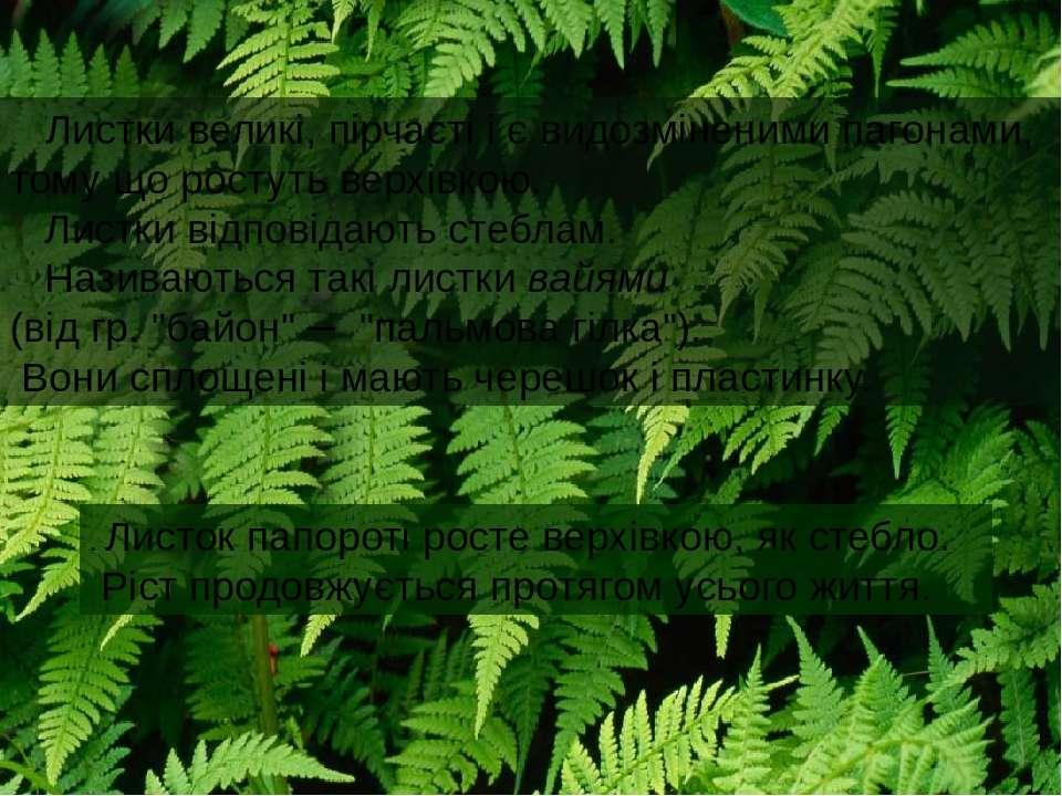 . Листок папороті росте верхівкою, як стебло. Ріст продовжується протягом усь...
