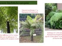Сучасні деревовидні папороті Ціатея серцевидна заввишки до 18 м, листки (вайї...