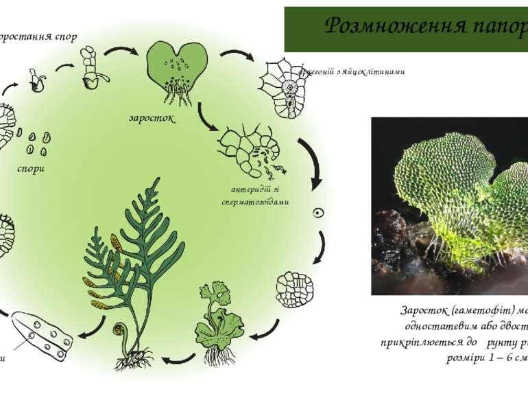 Розмноження папоротей соруси спорангій спори проростання спор заросток Зарост...