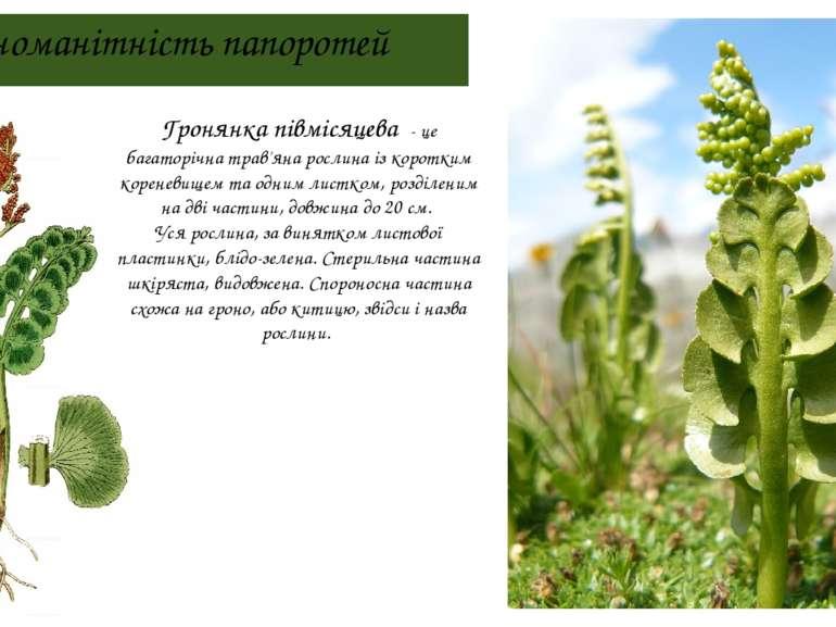 Різноманітність папоротей Гронянка півмісяцева - це багаторічна трав'яна росл...