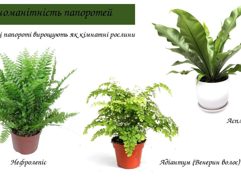 Різноманітність папоротей Нефролепіс Адіантум (Венерин волос) Аспленіум Деякі...