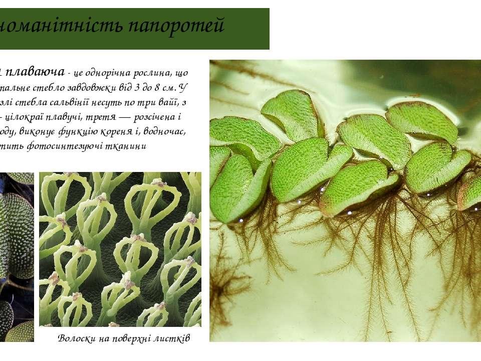 Різноманітність папоротей Сальвінія плаваюча - це однорічна рослина, що має г...