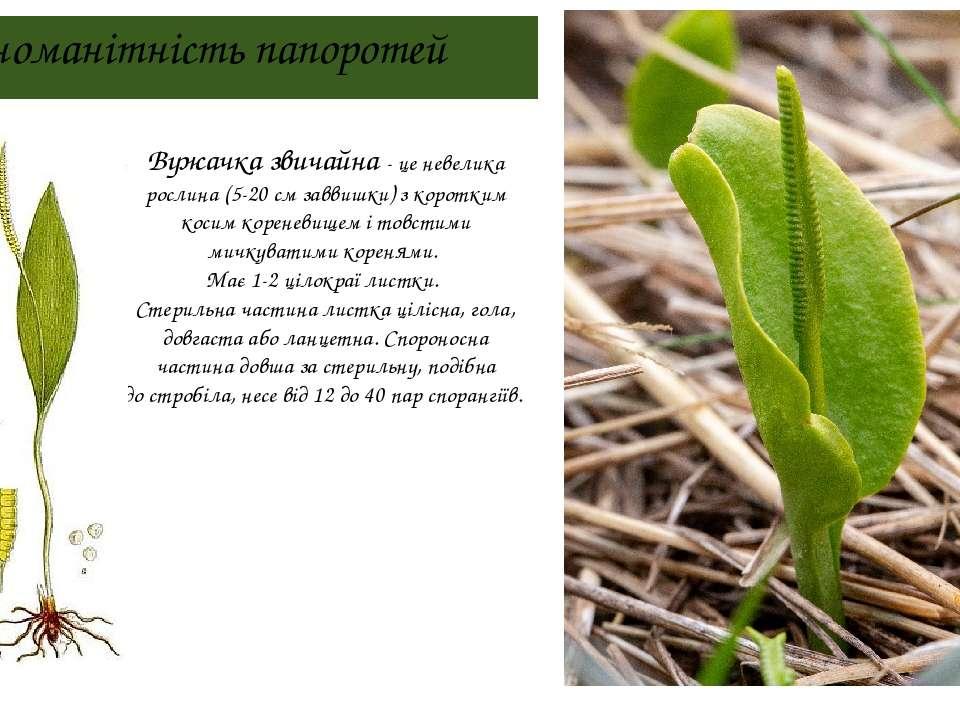 Різноманітність папоротей Вужачка звичайна - це невелика рослина (5-20см зав...