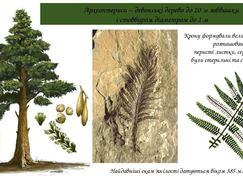 Археоптериси – девонські дерева до 20 м заввишки і стовбуром діаметром до 1 м...