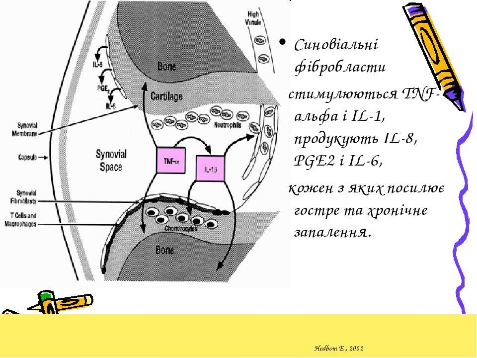 Hedbom E., 2002 Синовіальні фібробласти стимулюються TNF-альфа і IL-1, продук...