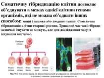 Соматичну гібридизацію клітин дозволяє об'єднувати в межах однієї клітини ген...