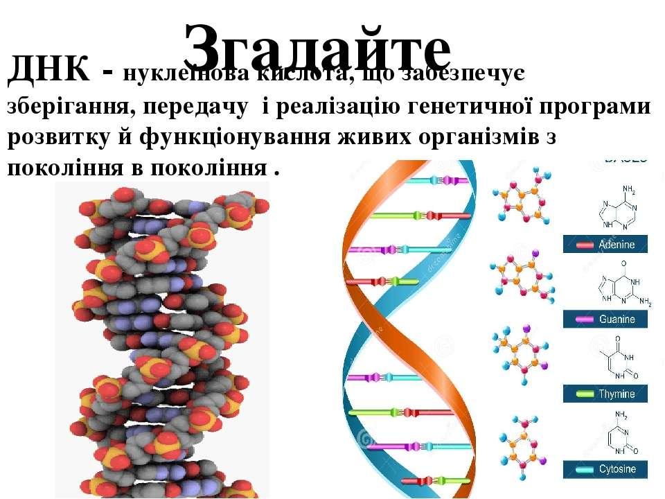 Згадайте ДНК - нуклеїнова кислота, що забезпечує зберігання, передачу і реалі...