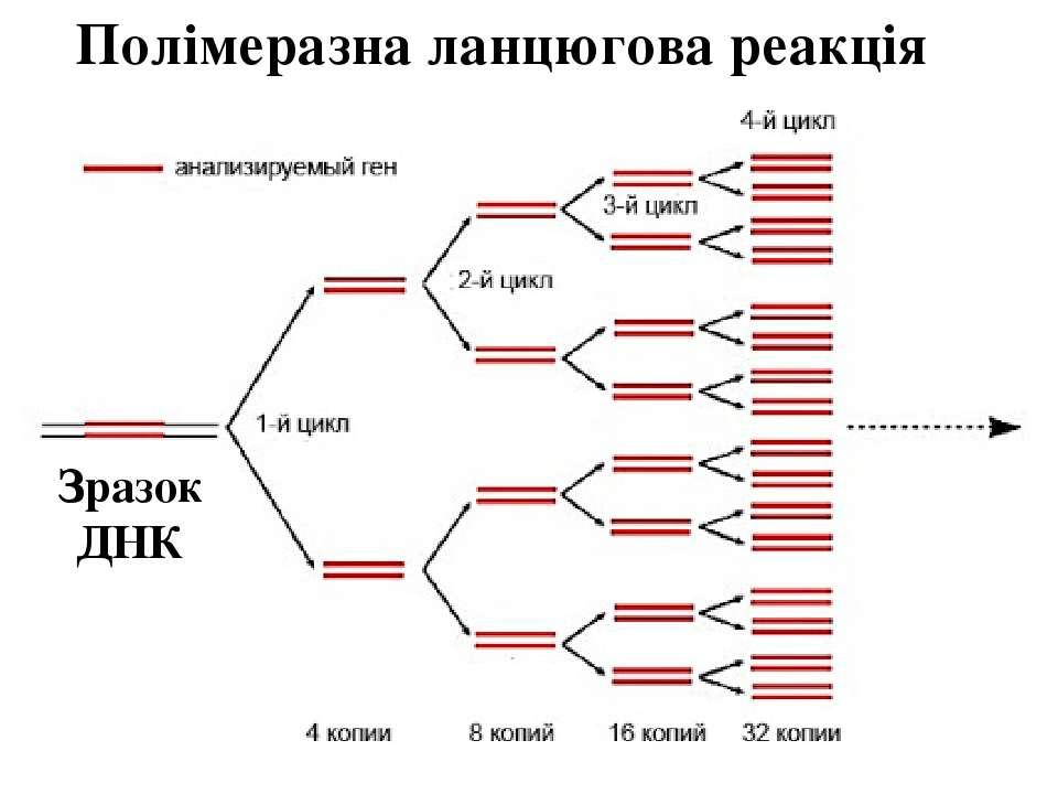 Полімеразна ланцюгова реакція Зразок ДНК