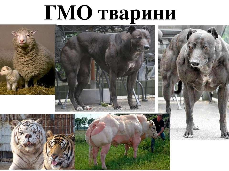 ГМО тварини