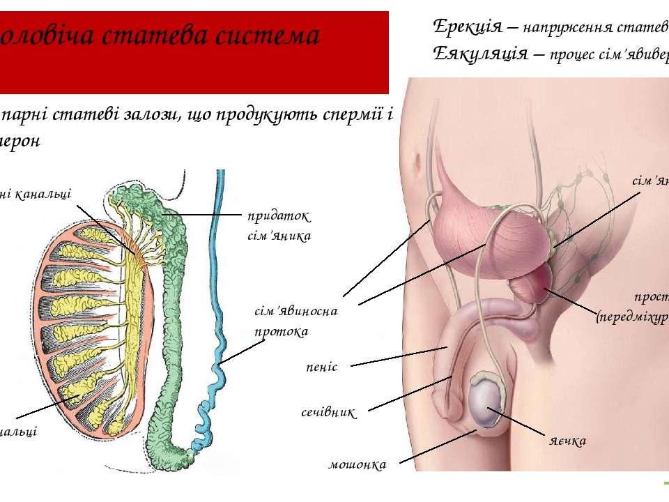 Чоловіча статева система яєчка Яєчка – парні статеві залози, що продукують сп...