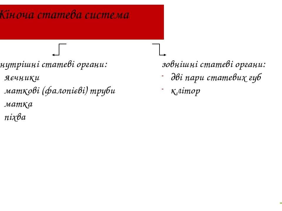 Жіноча статева система внутрішні статеві органи: яєчники маткові (фалопієві) ...