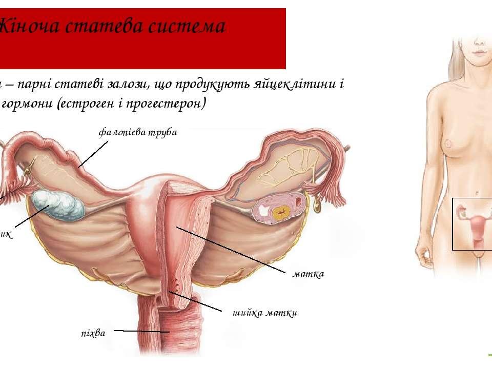 Жіноча статева система Яєчники – парні статеві залози, що продукують яйцекліт...