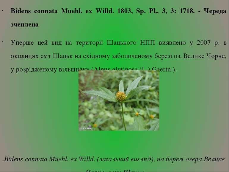 Bidens connata Muehl. ex Willd. 1803, Sp. Pl., 3, 3: 1718. - Череда зчеплена ...