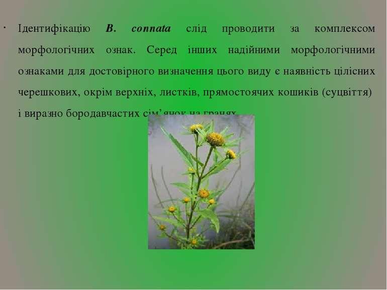 Ідентифікацію B. connata слід проводити за комплексом морфологічних ознак. Се...