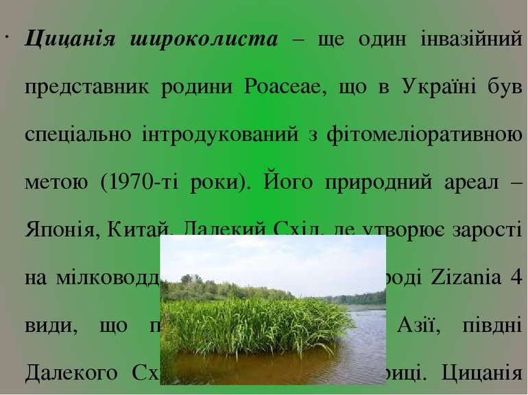 Цицанія широколиста – ще один інвазійний представник родини Poaceae, що в Укр...