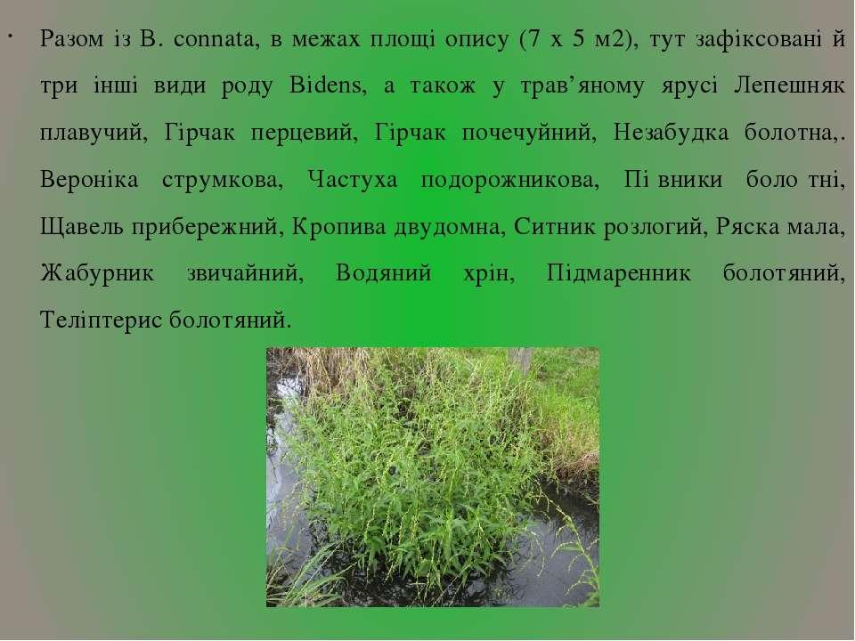 Разом із B. connata, в межах площі опису (7 х 5 м2), тут зафіксовані й три ін...