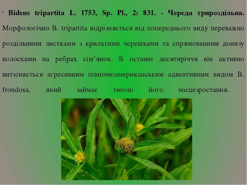 Bidens tripartita L. 1753, Sp. Pl., 2: 831. - Череда трироздільна. Морфологіч...