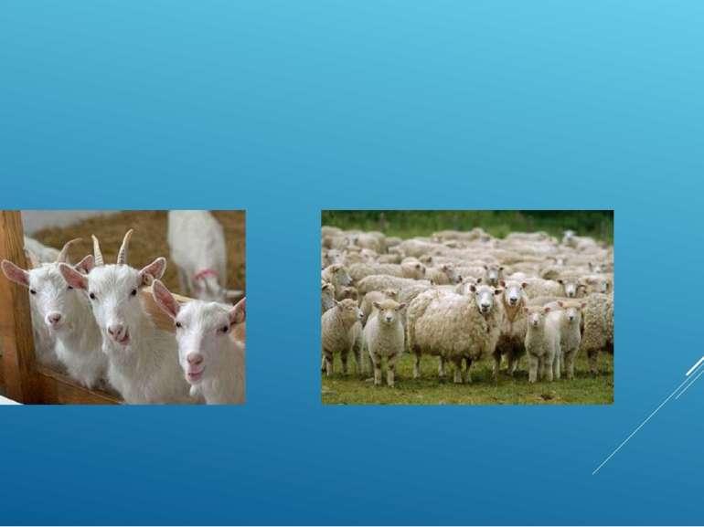 Велике значення має тваринництво. Країна знаходиться південніше зони поширенн...