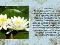 Потребує нашої уваги і охорони така болотяна рослина, як латаття біле. Ця лік...