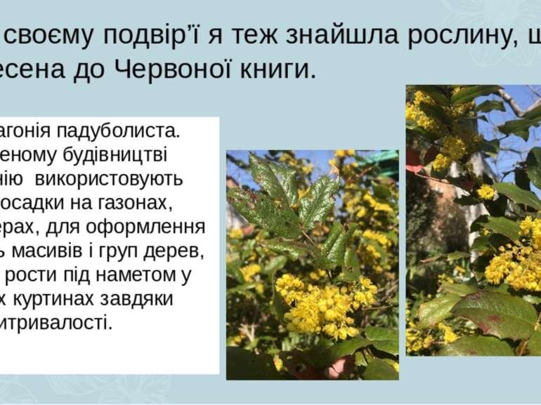На своєму подвір'ї я теж знайшла рослину, що занесена до Червоної книги. Це м...