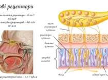 Нюхові рецептори нюховий епітелій Площа рецепторної зони – 2,5-5 кв.см рецепт...