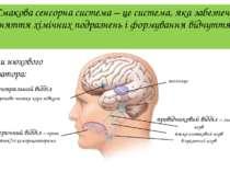 Смакова сенсорна система – це система, яка забезпечує сприйняття хімічних под...