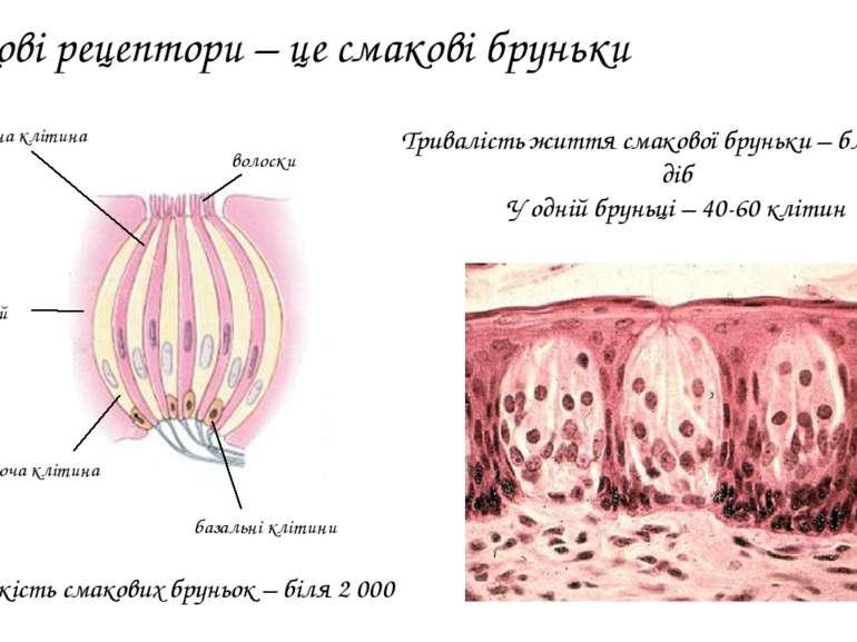 Смакові рецептори – це смакові бруньки рецепторна клітина підтримуюча клітина...