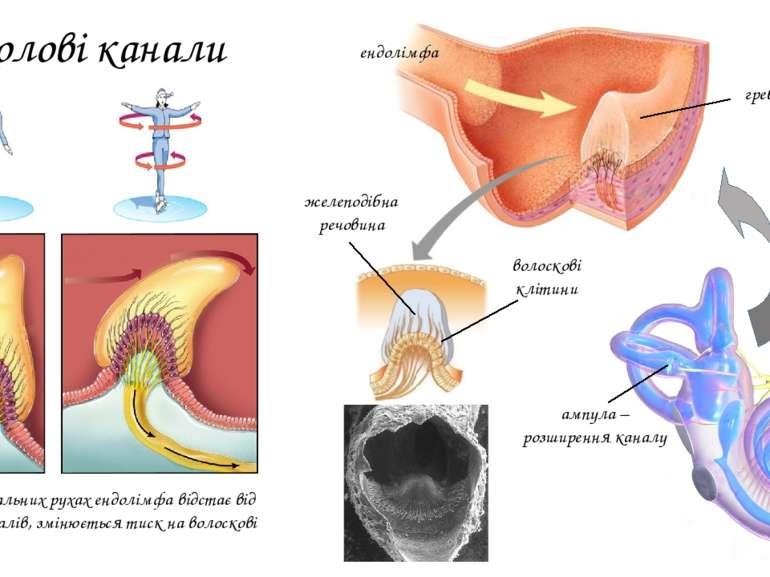 Півколові канали ендолімфа ампула – розширення каналу гребінець волоскові клі...