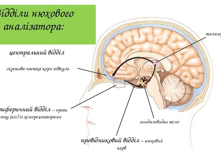 Відділи нюхового аналізатора: периферичний відділ – орган нюху (ніс) із хемор...