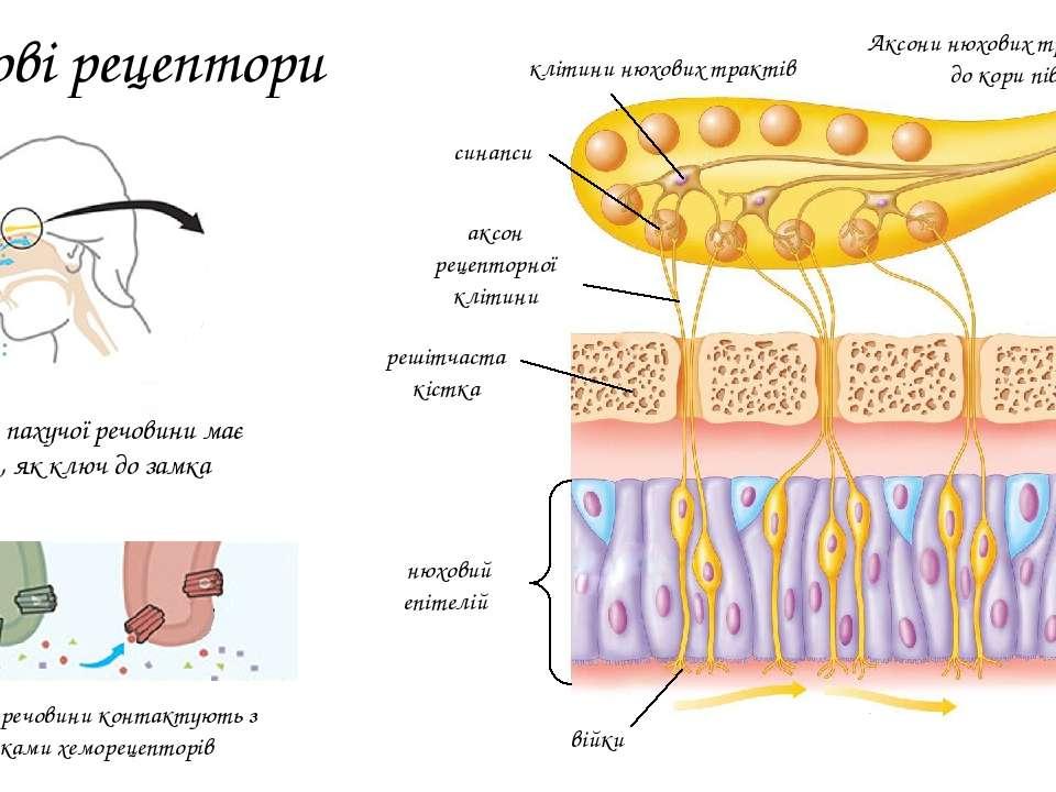 Нюхові рецептори аксон рецепторної клітини війки синапси решітчаста кістка ню...