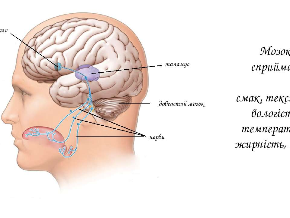 нерви довгастий мозок таламус кора великого мозку Мозок сприймає: смак, текст...