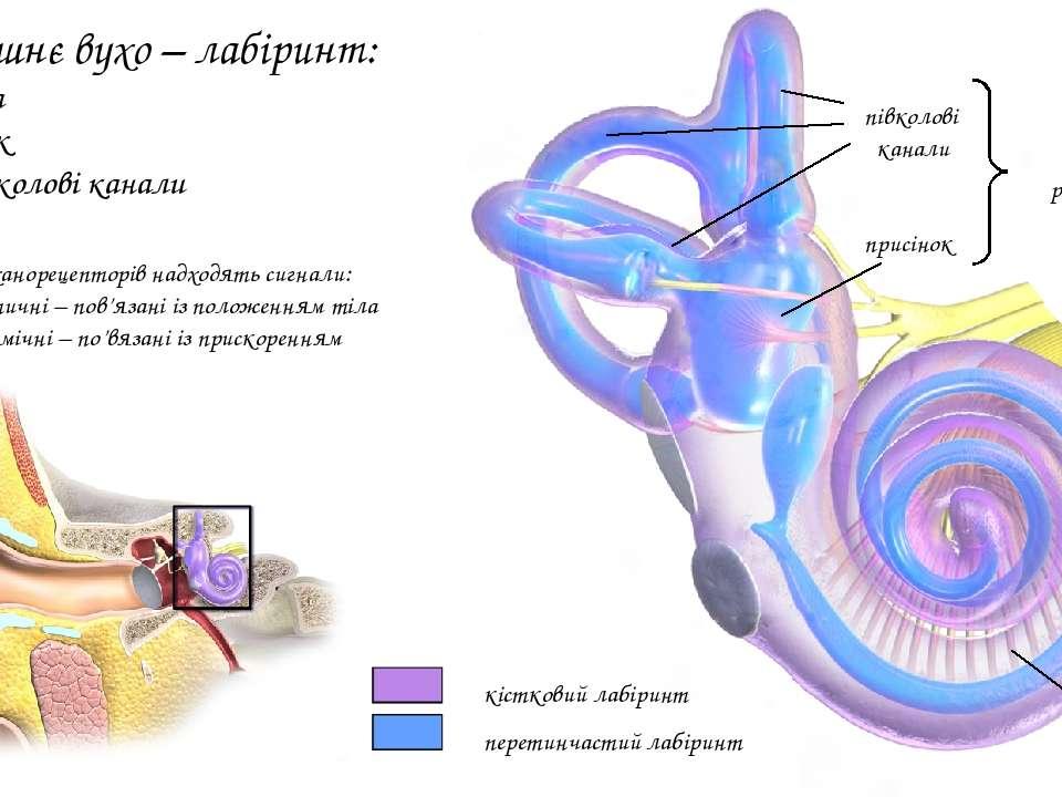 півколові канали присінок органи рівноваги завитка Внутрішнє вухо – лабіринт:...