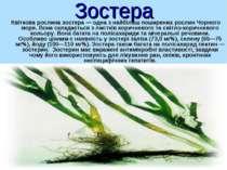Зостера Квіткова рослина зостера — одна з найбільш поширених рослин Чорного м...