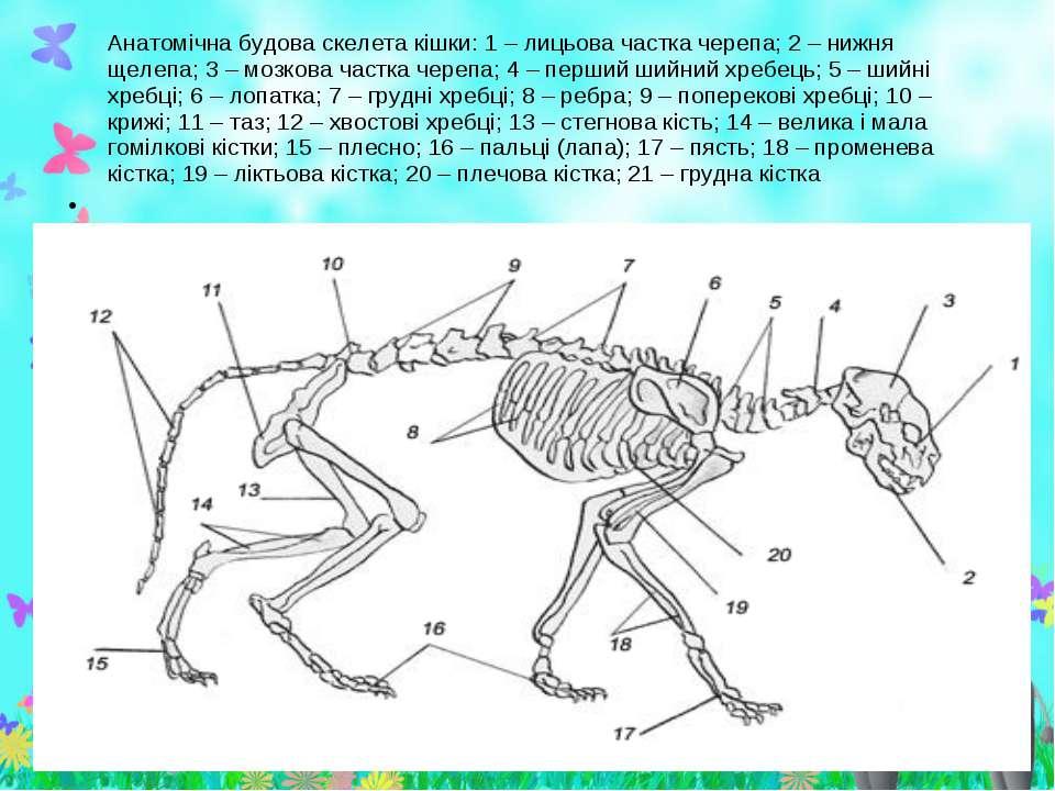 Анатомічна будова скелета кішки: 1 – лицьова частка черепа; 2 – нижня щелепа;...