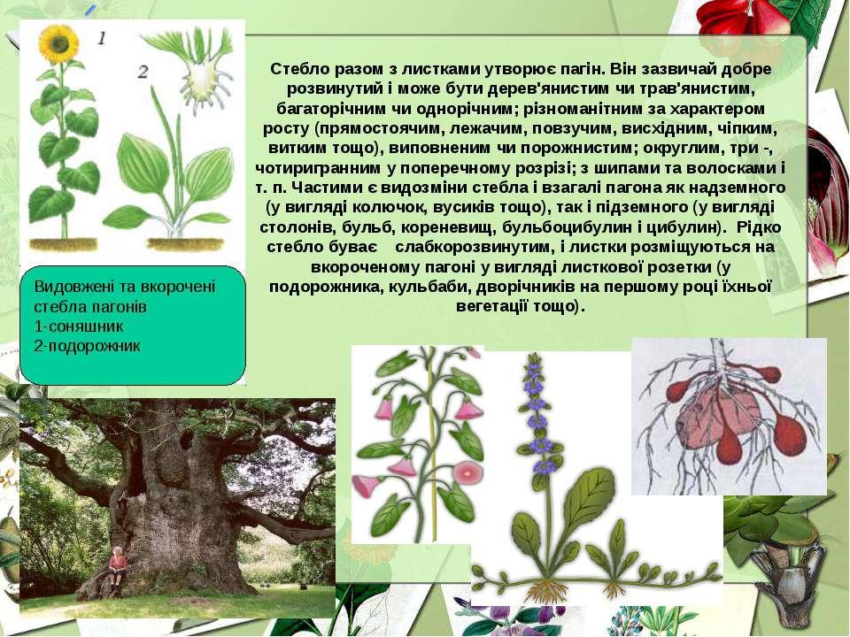 Стебло разом з листками утворює пагін. Він зазвичай добре розвинутий і може б...