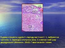 Будова плаценти щурів ІІ-періоду вагітності: 1. лабіринтна частина; 2. перехі...