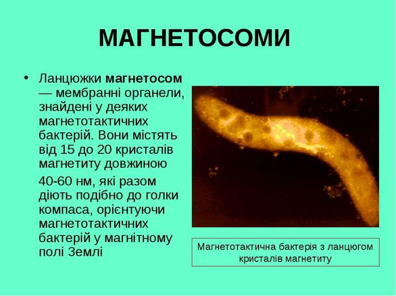 МАГНЕТОСОМИ Ланцюжки магнетосом — мембранні органели, знайдені у деяких магне...