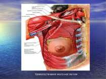 Кровопостачання молочної залози