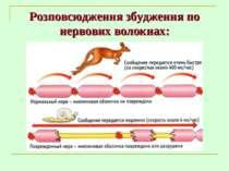 Розповсюдження збудження по нервових волокнах: