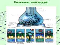 Етапи синаптичної передачі