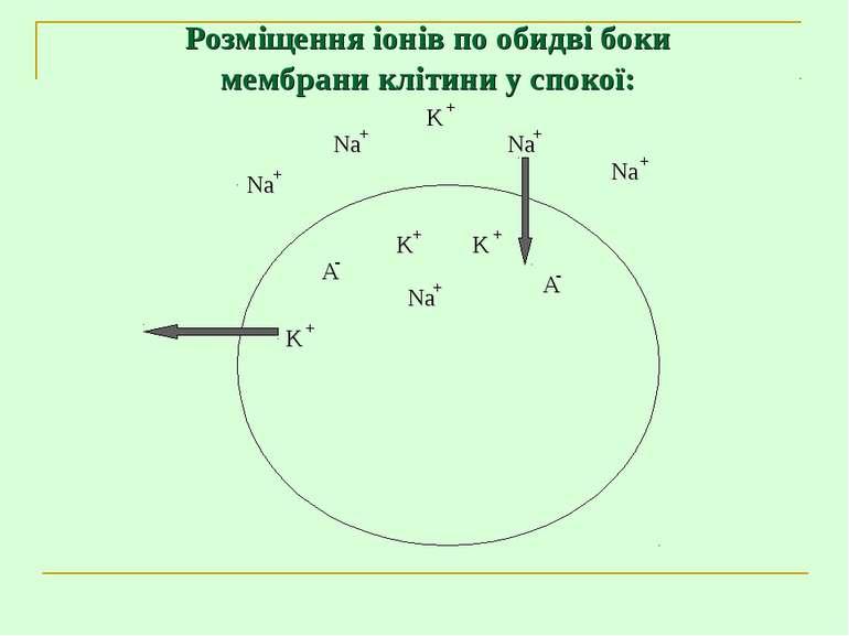 Розміщення іонів по обидві боки мембрани клітини у спокої: +