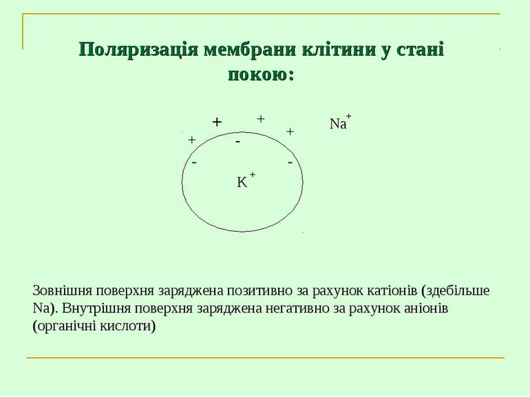 Зовнішня поверхня заряджена позитивно за рахунок катіонів (здебільше Na). Вну...